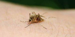 ¿CUÁL ES EL MOSQUITO QUE TRANSMITE EL DENGUE? » Aedes Eegypti y Albopictus