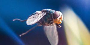 MOSQUITO DE LAS FRUTAS » ¿Es un mosquito?