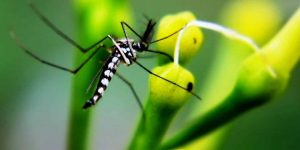 MOSQUITO AEDES AEGYPTI » Enfermedades que transmite